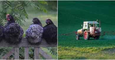 , En Francia están sustituyendo pesticidas por gallinas. Se comen los bichos y no contaminan.