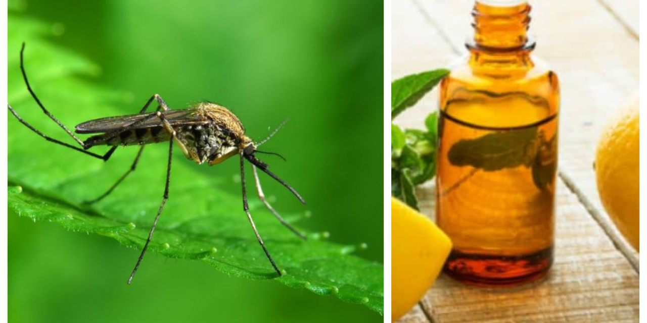 Confirman que el aceite de eucalipto limón es tan efectivo como el DEET para repeler mosquitos