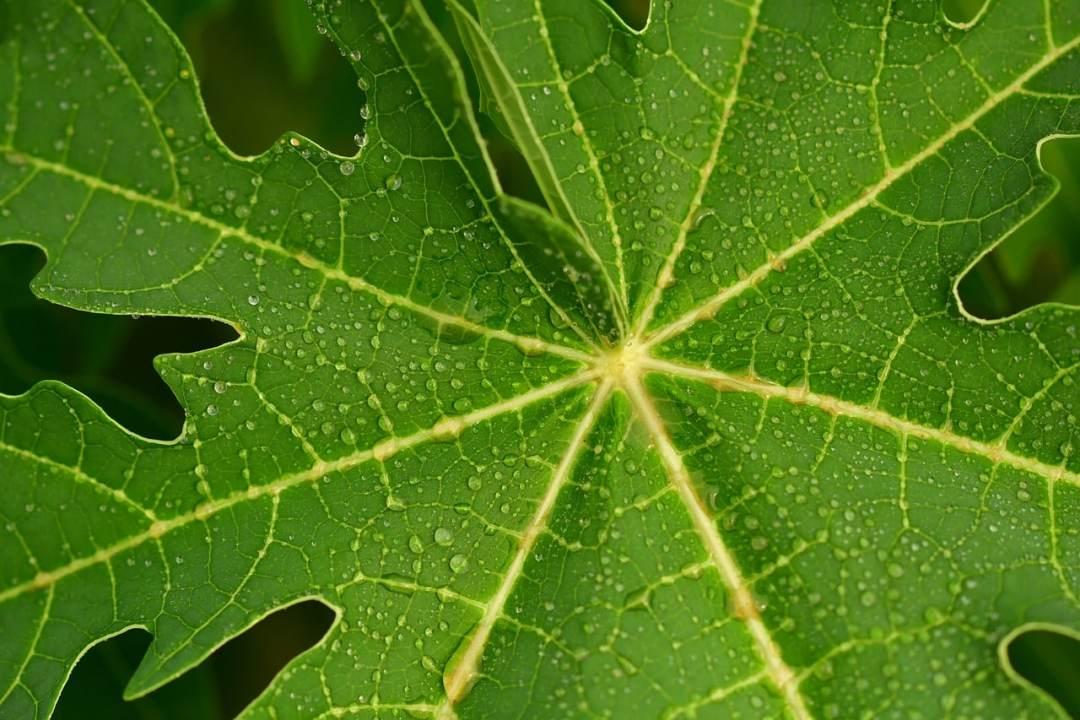 Te de hojas de papaya