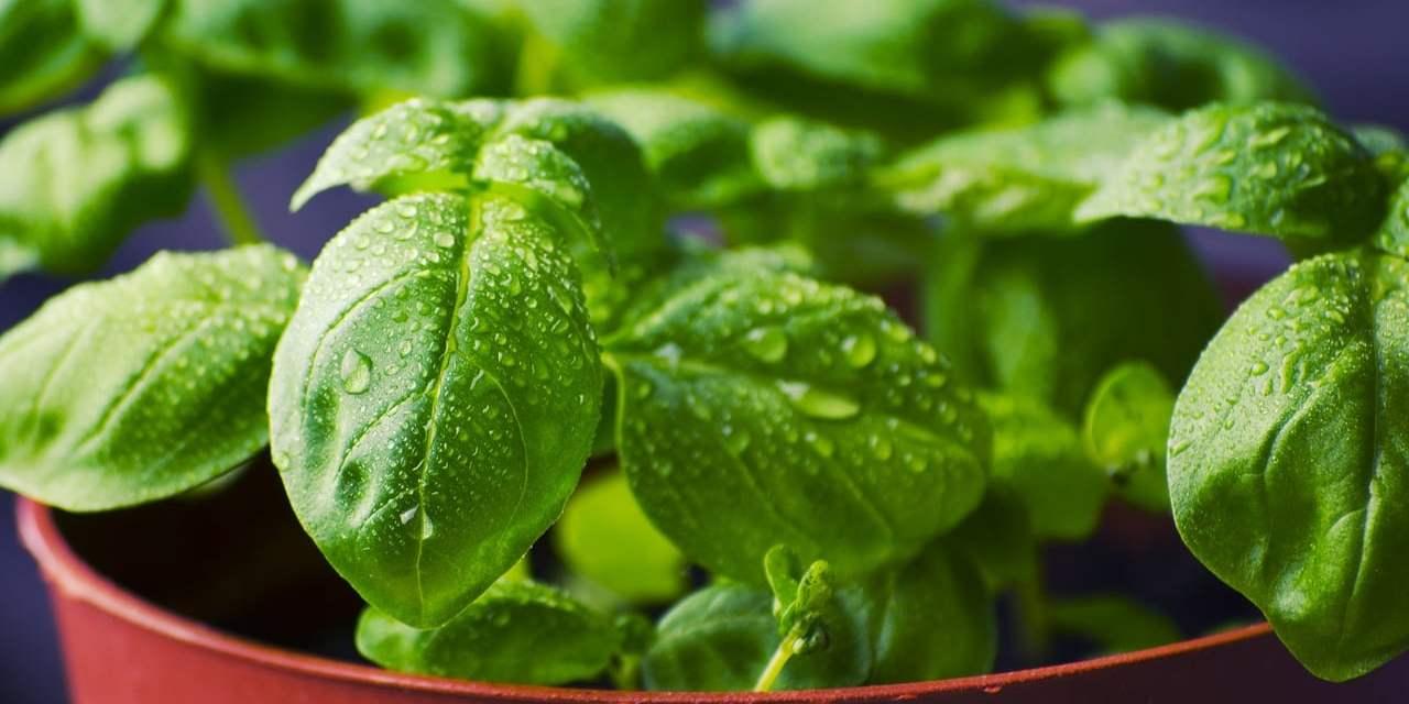 Conoce las hierbas aromáticas ideales para espacios pequeños