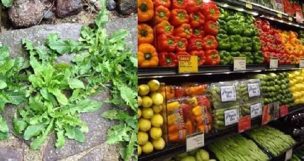 Estudio: las malezas son más nutritivas que los productos comprados en la tienda