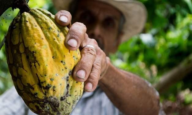 El cacao genera 6 veces más ingresos por hectárea que el ganado.