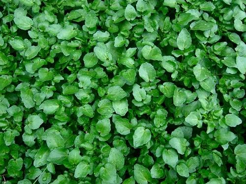 ¿Cómo cultivar berros? La verdura de hoja verde más nutritiva