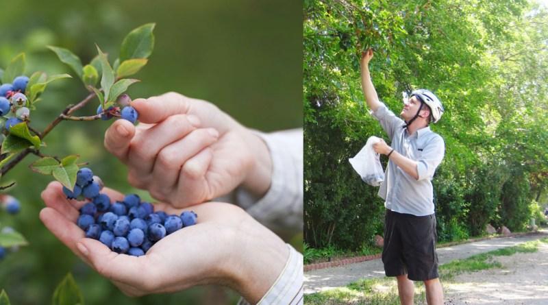 , Copenhague llenará la ciudad de frutales; se cosecharán de forma gratuita manzanas, moras, arándanos…