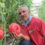Semillas ancestrales: Agricultores chilenos rescatan el «tomate con sabor a infancia»