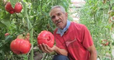 """Agricultores chilenos rescatan el """"tomate con sabor a infancia"""""""