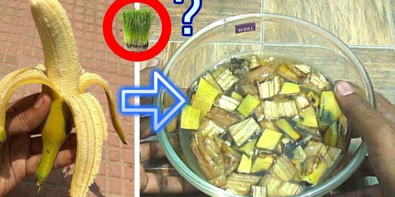 Aprende a preparar fertilizante orgánico con cascara de plátano o banana