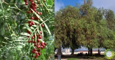 , Aguaribay: el árbol que repele mosquitos naturalmente