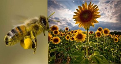 Siembran un santuario de girasoles en México para proteger a las abejas