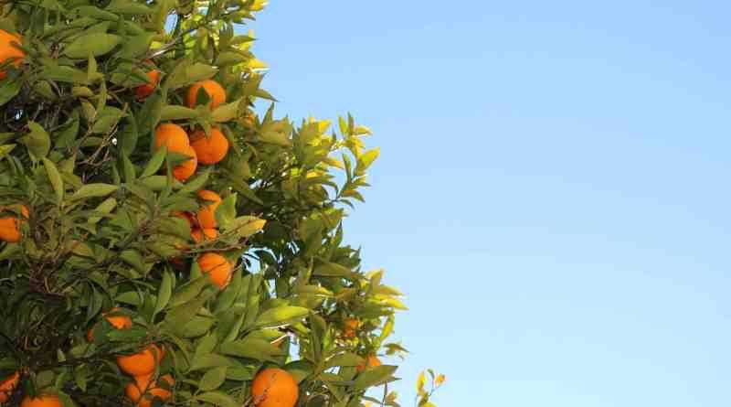 Usos medicinales del Naranjo