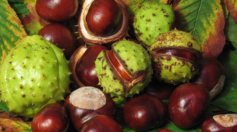 Beneficios y propiedades del castaño de Indias