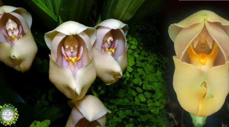 , Conoce la orquídea «cuna de Venus» una de las más bonitas de su género