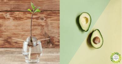 , Cómo germinar y cultivar semillas de aguacate en casa