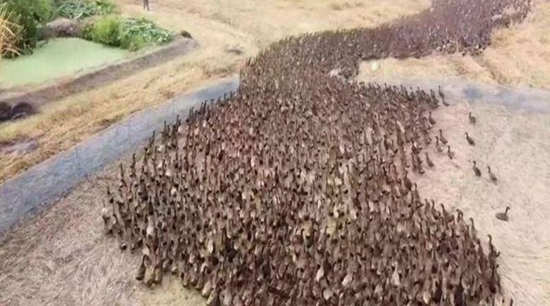 El ejército de diez mil patos que está limpiando los arrozales de plagas: para que no haya necesidad de pesticidas