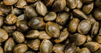 , ¿Cómo saber si una semilla de cannabis es de calidad?