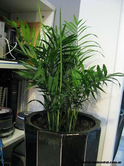 Purificadores de aire las plantas de interior: la seda de palma Areca