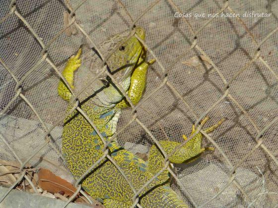 La Lacerta lepida o lagarto ocelado