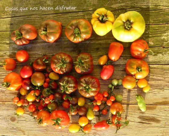 Diario de un tomate: Semana 8 – Nuestra primera cosecha