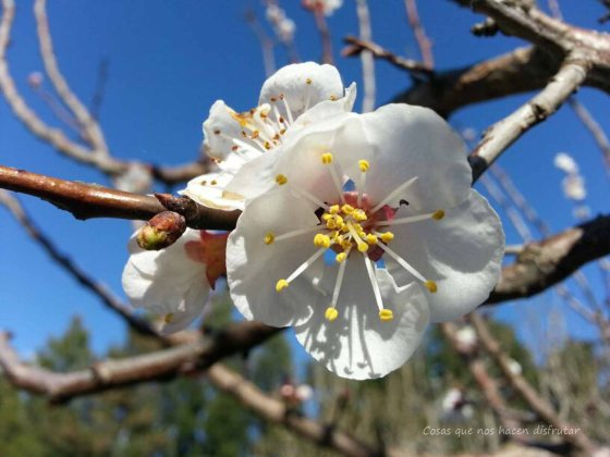Ya huele a primavera. #Damasco en #flor