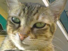 asma felina rimedi naturali