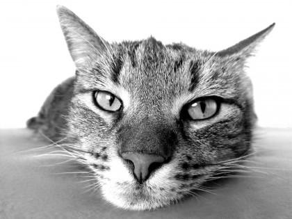 fosforo alto gatto