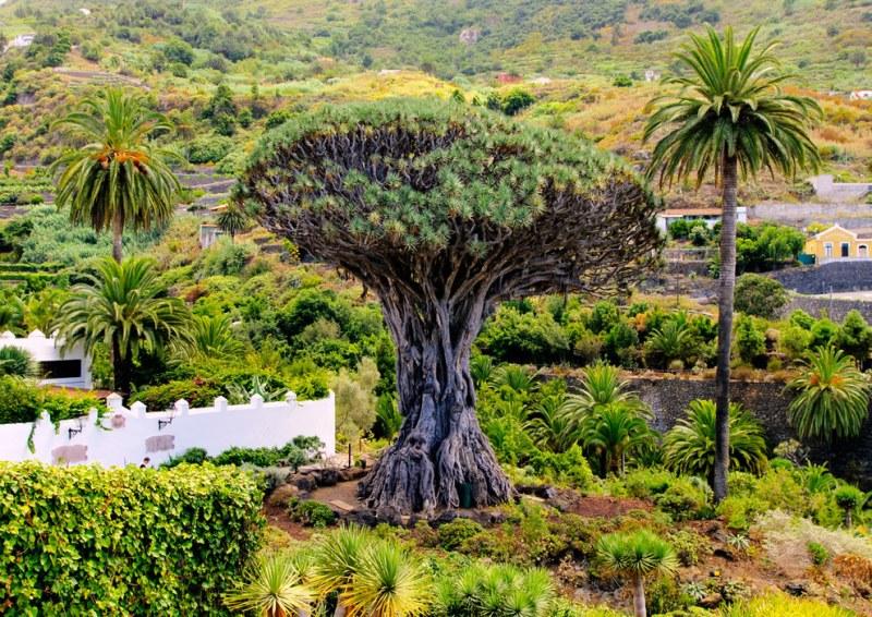 Ilhas Canárias: Pinheiros com formatos impressionantes