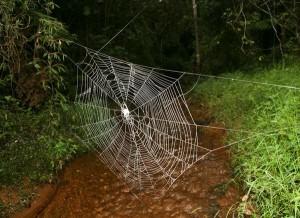 huge-spider-webs-crossing-river_26175_600x450