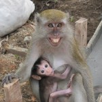 Mother macaque with young