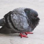 Forlorn pigeon
