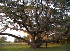 Tree big branches
