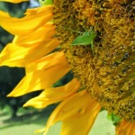 Grashopper in sunflower