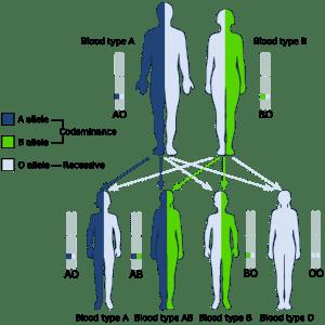 abo-blood-types