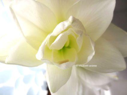 amaryllis close up