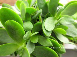 succulent close up