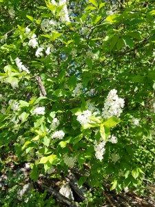 Hägg i blom i Elisabeth Biströms trädgård