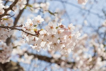 Cherry Blossoms 2017-1