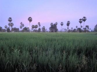 Rice field during the rainy season