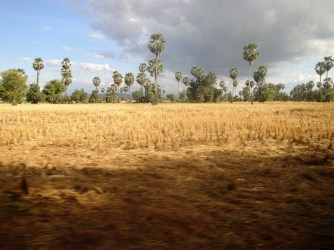 Rice field during the dry season