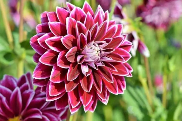 Top 10 Winter Flowers In India 9 Is My Favourite Oct To Nov Sowing