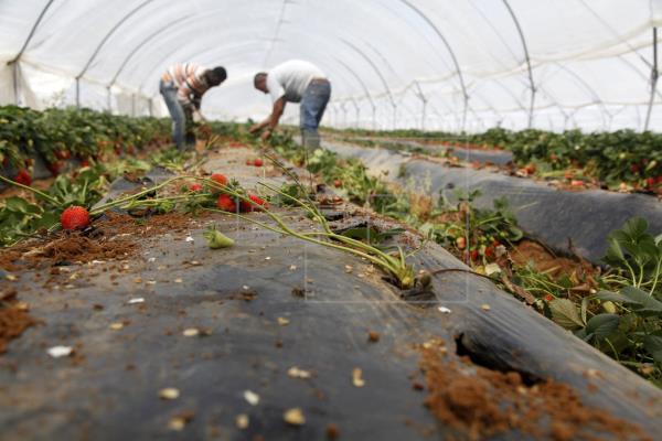 La plantación de la fresa abarca 6.100 hectáreas y generará 10.000 empleos