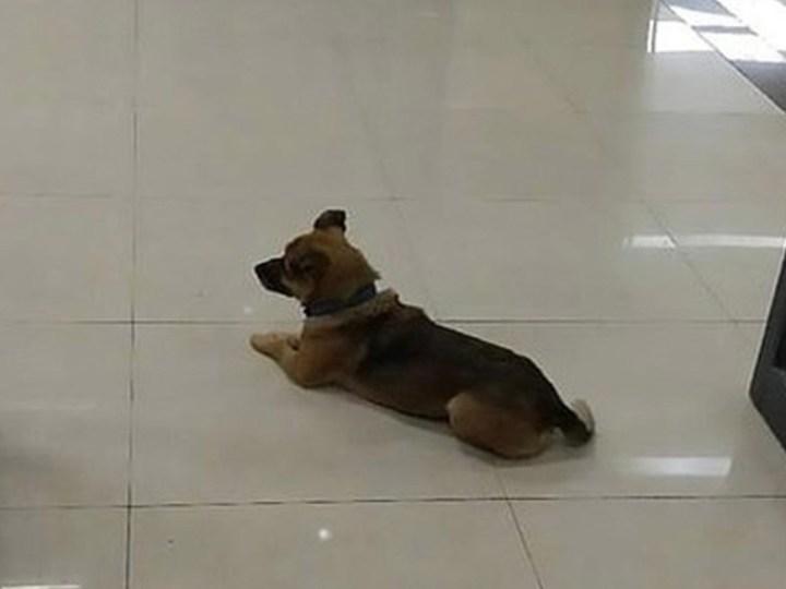 La fidelidad de un perro, Xiaobao, que espera a su dueño muerto por coronavirus