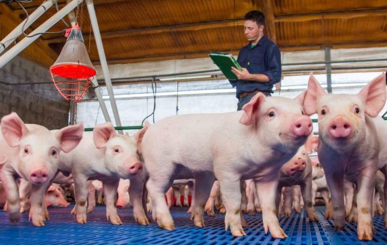 China: Las granjas industriales provocan el riesgo de una pandemia de gripe porcina