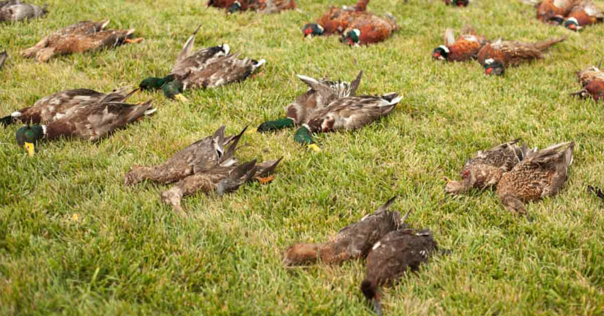 How To Hunt Ducks Killing a Duck