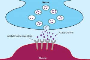 acetylcholine-and-receptor
