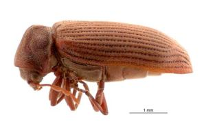 New Zealand Christchruch Borer Beetle Bora Wood Worm