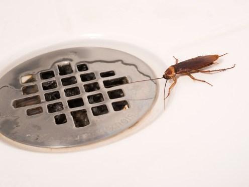 american-cockroach-in-shower-bug_0924