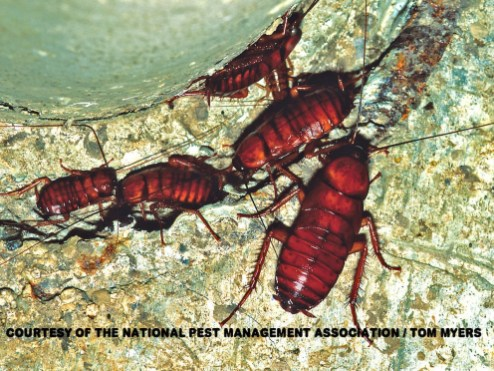 american-cockroach-nymphs