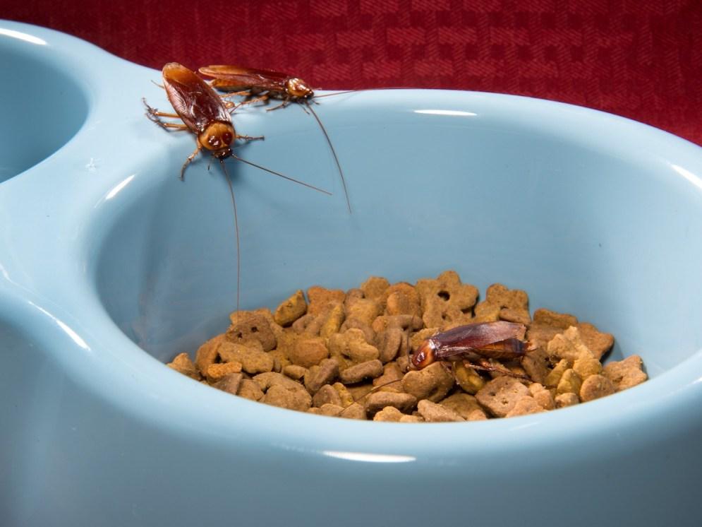 american-cockroach-on-dog-dish-bug_0900