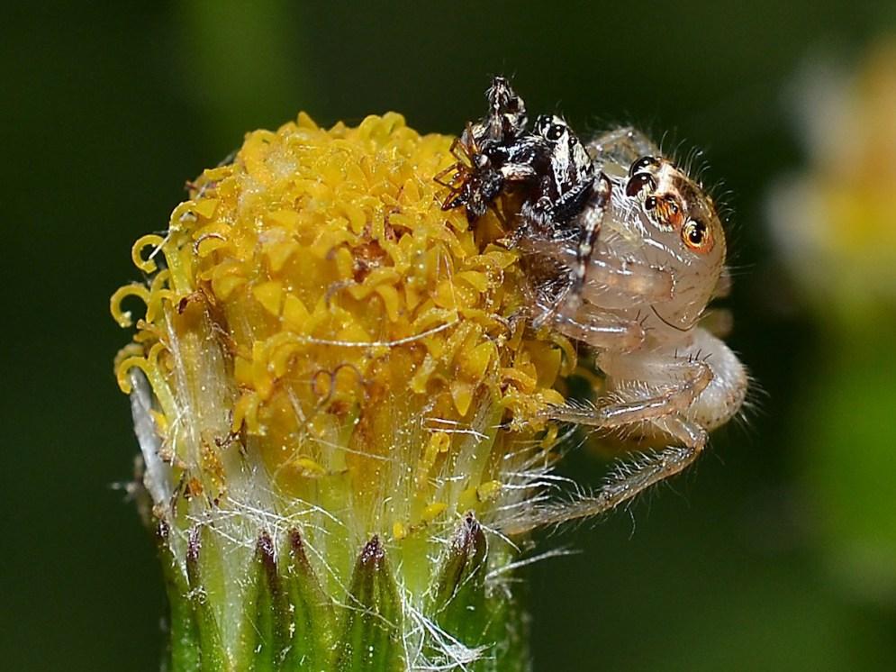 jordan-jumping-spider-freshly-molted