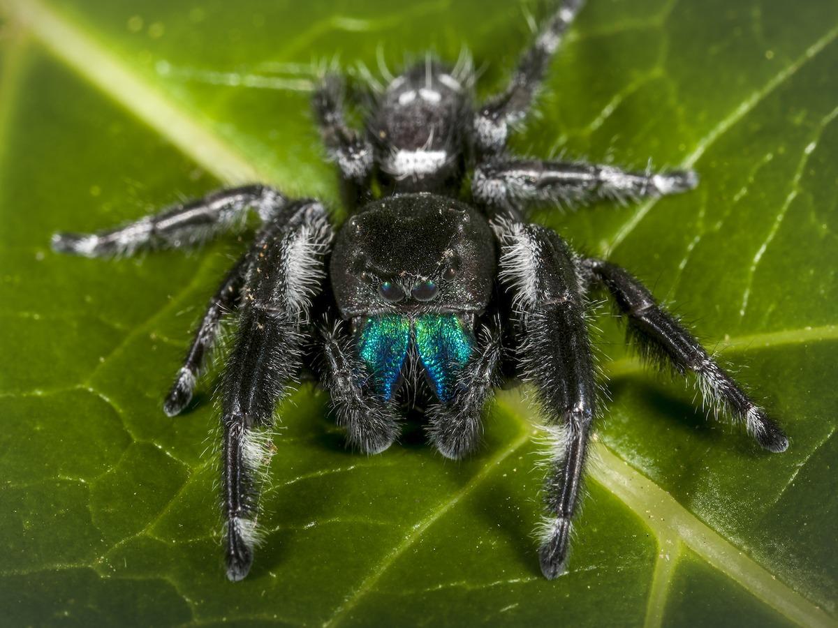 jumping-spider2